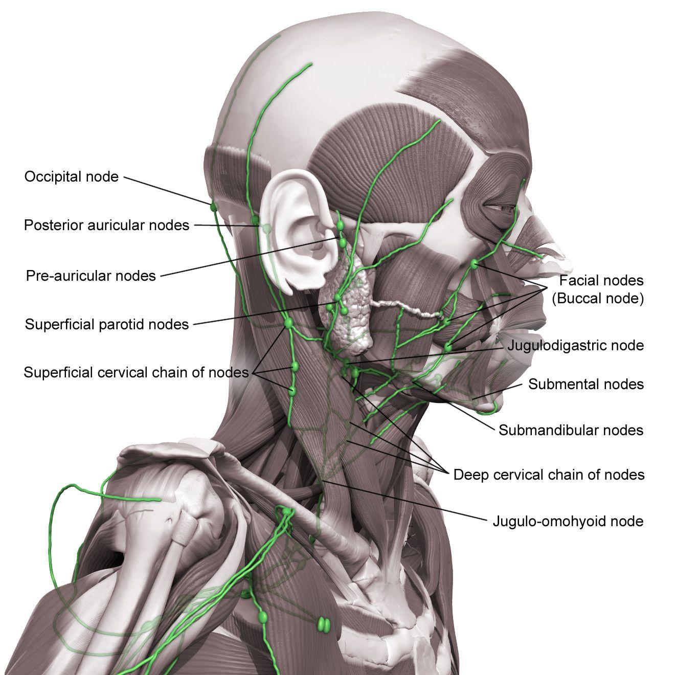 Speech Pathology Anatomy