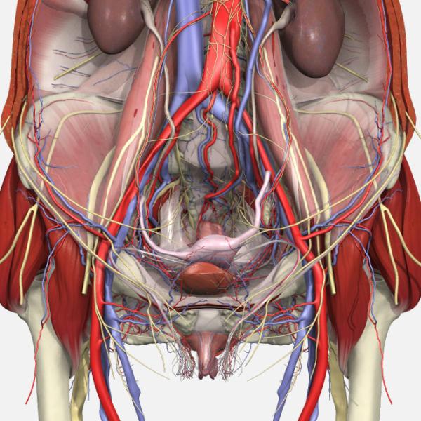 Pelvic Floor Disorders Anatomy - Primal