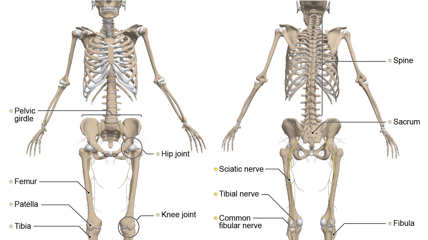 anterior - posterior - body - anatomy - cross-legged - legs - crossed - Primal Pictures